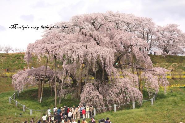 miharu sakura_1.jpg